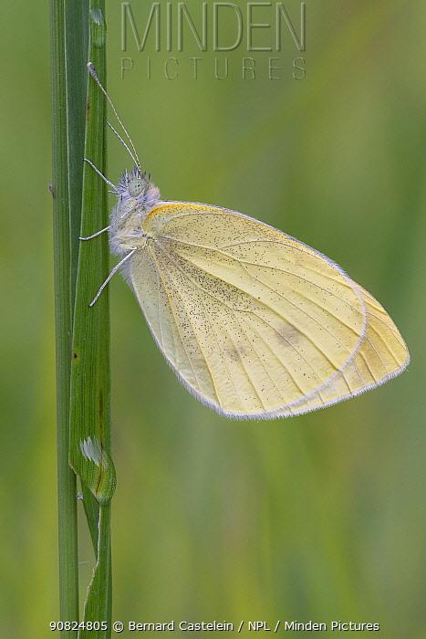Small white (Pieris rapae) butterfly resting on grass stem. Peerdsbos, Brasschaat, Belgium. August.