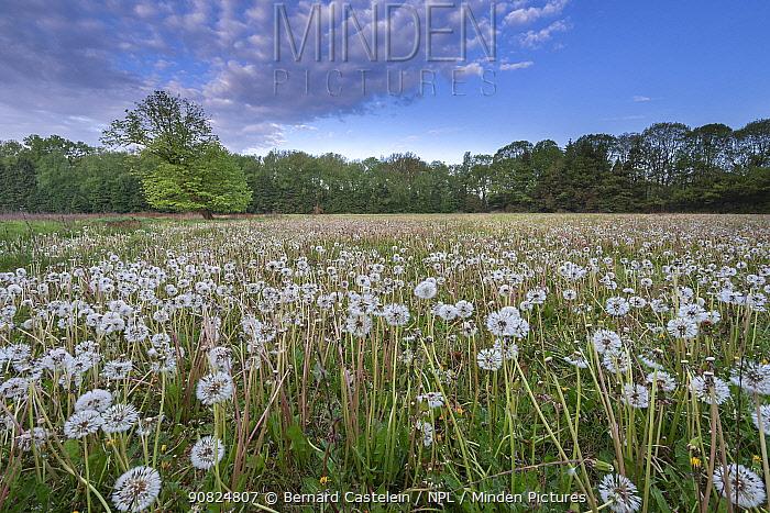 Dandelion (Taraxacum vulgaria) seedheads / clocks in meadow. Peerdsbos, Brasschaat, Belgium. April 2019.