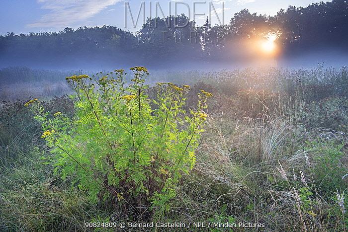 Tansy (Tanacetum vulgare) flowering in grassland on misty morning, sun shining through trees. Peerdsbos, Brasschaat, Belgium. July 2018.