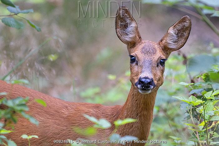 Roe deer (Capreolus capreolus) doe. Peerdsbos, Brasschaat, Belgium. August.