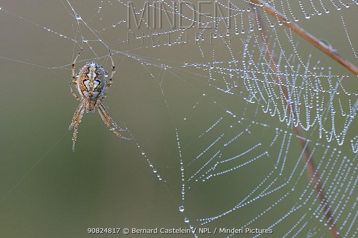 Bordered orb-weaver spider (Neoscona adianta) on dew covered web, Peerdsbos, Brasschaat, Belgium. July.