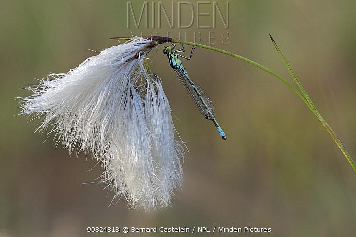 Irish damselfly;(Coenagrion lunulatum) with dew droplets on wing, resting on Cottongrass (Eriophorum angustifolium). Klein Schietveld Brasschaat, Belgium. May.