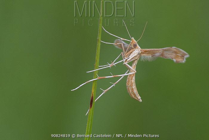 Plume moth (Pterophoridae sp). Klein Schietveld, Brasschaat, Belgium. July.