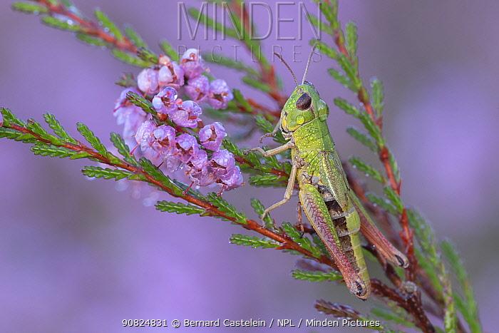 Meadow grasshopper (Pseudochorthippus parallelus) on Common heather (Calluna vulgaris), covered in dew droplets. Klein Schietveld, Brasschaat, Belgium. August.