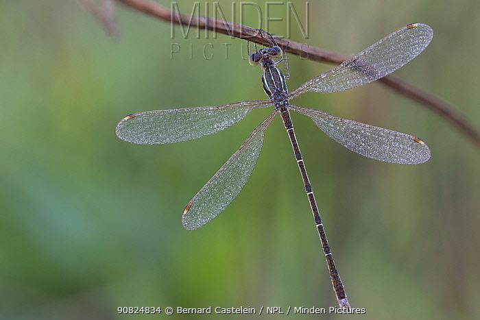 Migrant spreadwing (Lestes barbarus) male at rest, dew droplets on wings. Klein Schietveld, Brasschaat, Belgium. August.