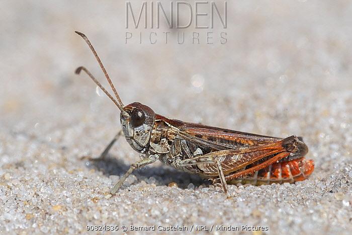 Mottled grasshopper (Myrmeleotettix maculatus) male. Klein Schietveld, Brasschaat, Belgium. August.