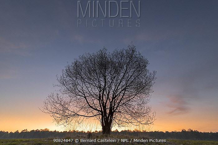 Alder buckthorn (Frangula alnus) tree at dawn. Klein Schietveld, Brasschaat, Belgium. April.