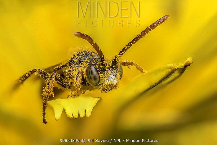Little nomad bee (Nomada flavoguttata) Dandelion (Taraxacum offinicale) Monmouthshire, Wales, UK. April