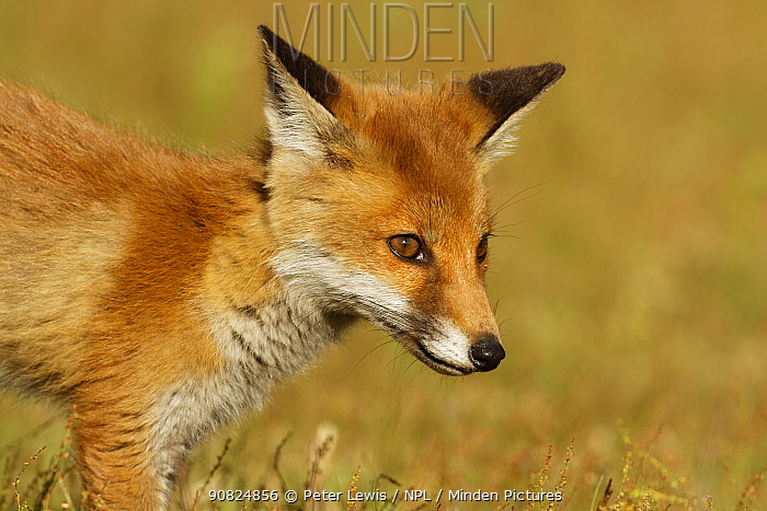 Red Fox cub (Vulpes vulpes) Surrey, England, UK. June.
