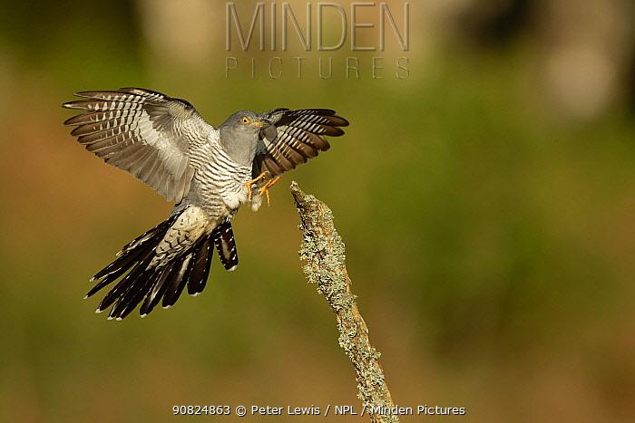 Common Cuckoo (Cuculus canorus) wings open landing on post Surrey, England, UK.