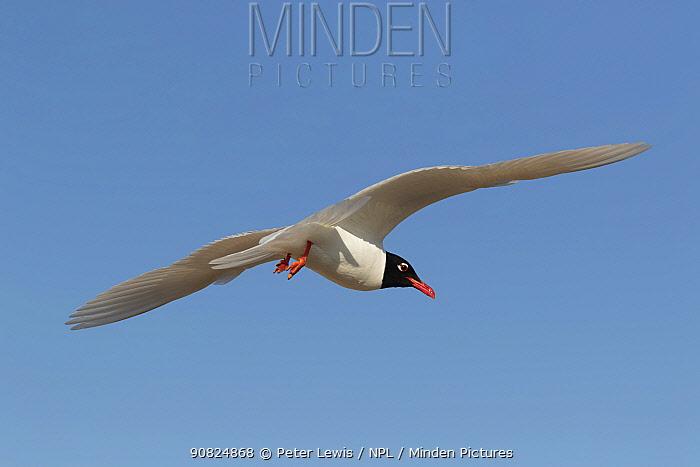 Mediterranean gull (Larus melanocephalus) in Summer plumage in flight, Hayling Island, Hampshire, England, UK.