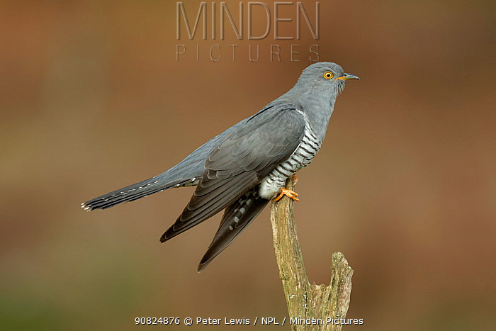 Common Cuckoo (Cuculus canorus) perched on post Surrey, England, UK.