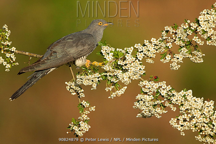 Cuckoo (Cuculus canorus) perched on Hawthorn blossom, Surrey, England, May.