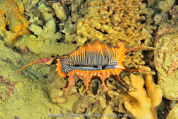 Scorpion shell / Scorpion spider conch (Lambis scorpius) New Caledonia, Pacific Ocean.