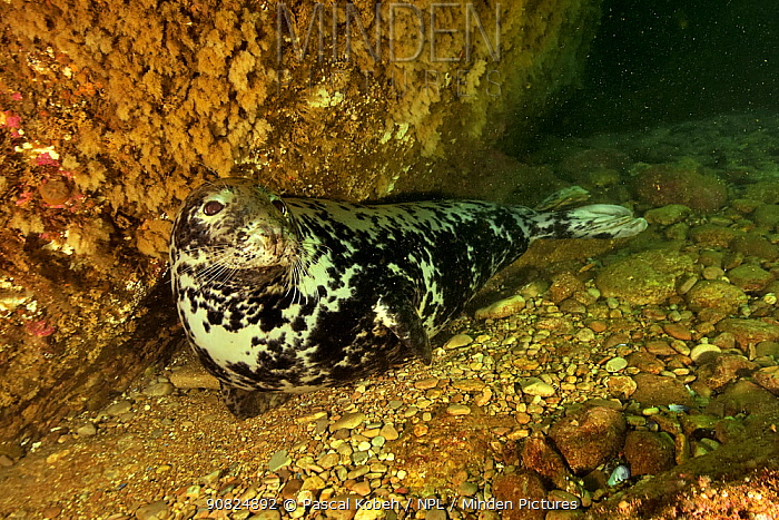 Grey seal (Halichoerus grypus grypus) underwater, Gulf of Saint Lawrence, Canada