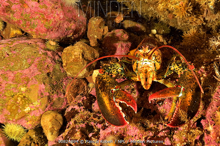 Atlantic / American lobster (Homarus americanus) Gulf of Saint Lawrence, Canada