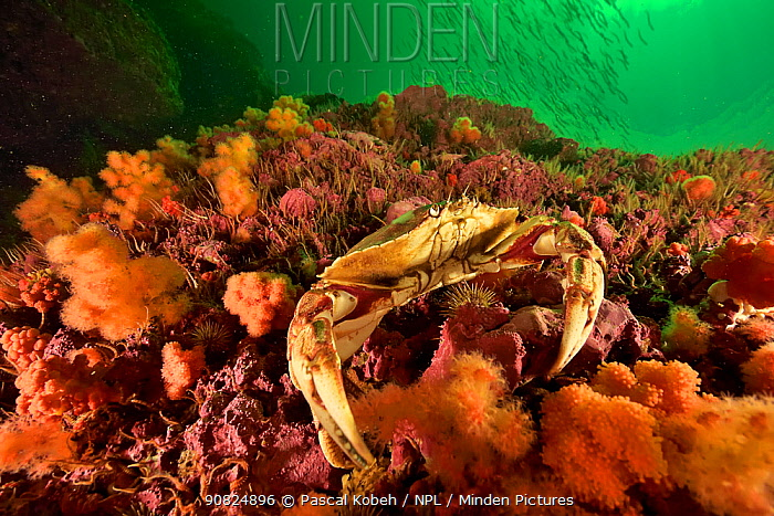 Atlantic rock crab or common rock crab (Cancer irroratus) on the reef, Gulf of Saint Lawrence, Canada.