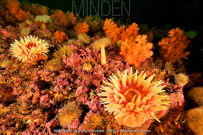 Reef covered with two red Stomphia sea anemones (Stomphia coccinea), with Plumose anemones (Metridium senile), Red soft corals (Eunephthya / Gersemia rubiformis) and Green sea urchins (Strongylocentrotus droebachiensis) Gulf of Saint Lawrence, Canada