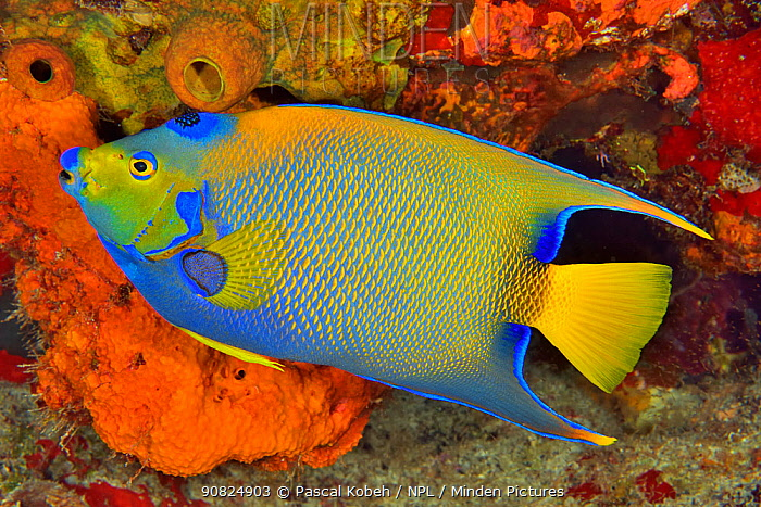 Queen angelfish or blue or golden angelfish (Holacanthus ciliaris) Cozumel Island, Yucatan peninsula, Mexico.