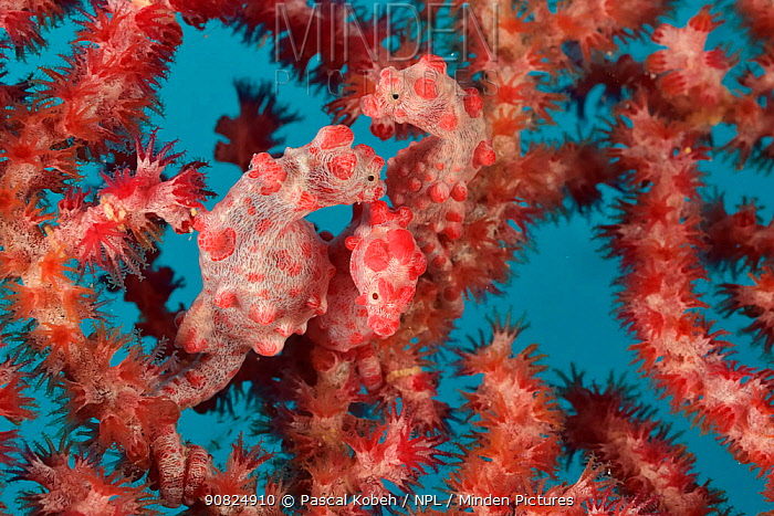 Three Pygmy seahorses (Hippocampus bargibanti) on a Seafan / Gorgonian (Muricella sp) including one or several pregnant males. New Caledonia, Pacific Ocean