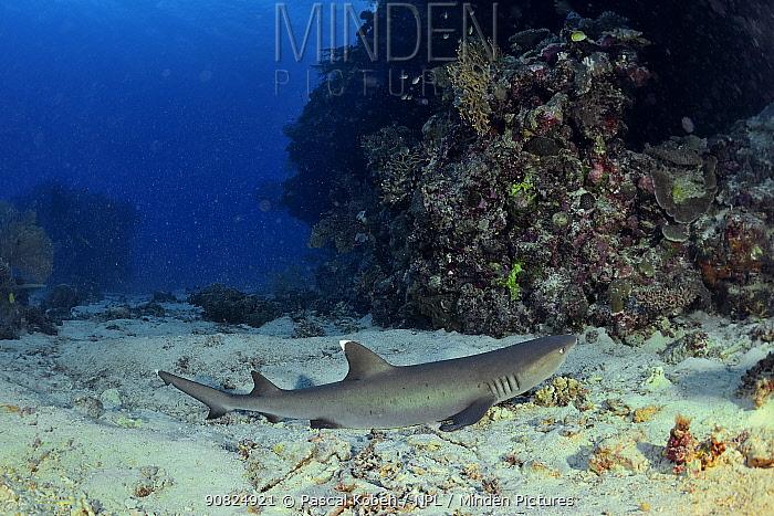 White tip shark (Triaenodon obesus) laying on the sandy bottom, New Caledonia, Pacific Ocean.