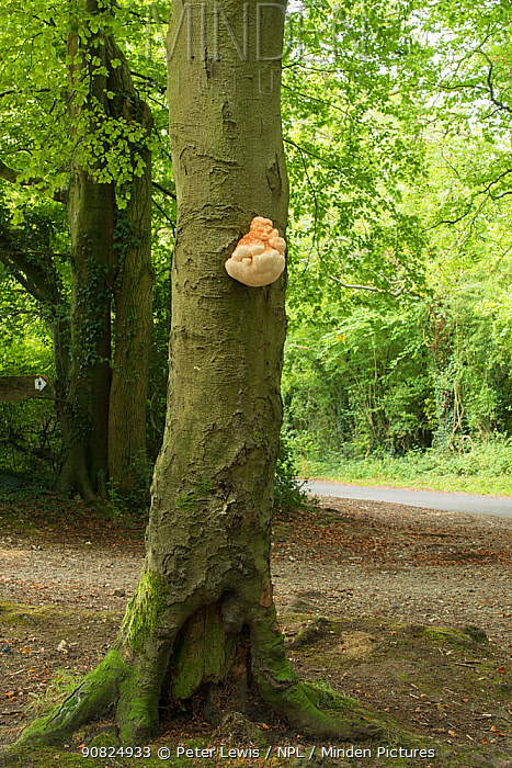 Bearded tooth fungus / Tree hedgehog fungus (Hericium erinaceus) Droxford, Hampshire, England, UK.