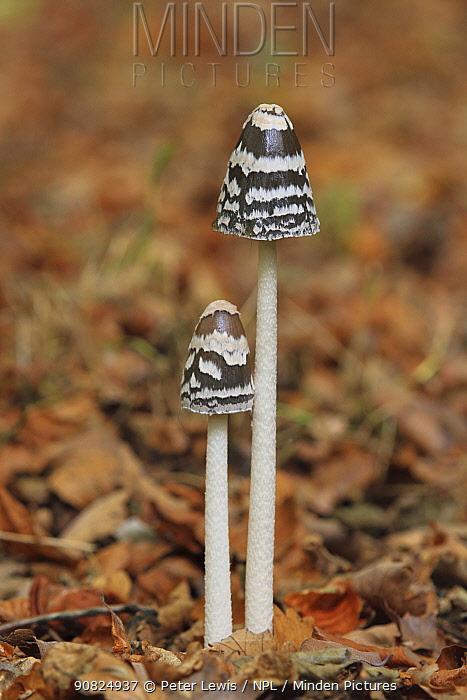 Magpie inkcap (Coprinus picaceus) fungus, Wimborne, Dorset, England, UK, October.