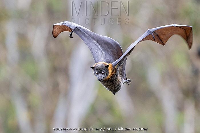 Portrait of a male Grey-headed Flying-fox (Pteropus poliocephalus) coming in to land. Yarra Bend Park, Kew, Victoria, Australia.? November.
