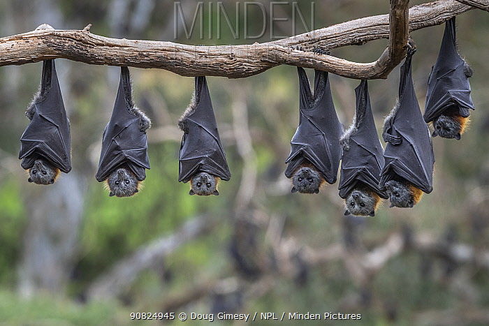 Grey-headed Flying-foxes (Pteropus poliocephalus) hang from a branch.?Yarra Bend Park, Kew, Victoria, Australia. November 2019