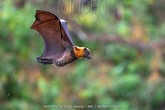 Grey-headed flying-fox (Pteropus poliocephalus) in flight flares wings coming in to land, during a light summer rain shower. Yarra Bend Park, Kew, Victoria, Australia. December.