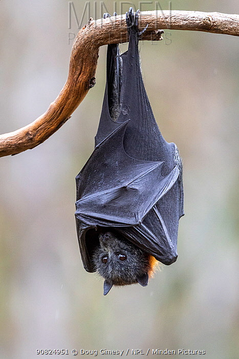 Grey-headed flying-fox (Pteropus poliocephalus) hanging from a branch. Yarra Bend Park, Kew, Victoria, Australia. December. Cropped.