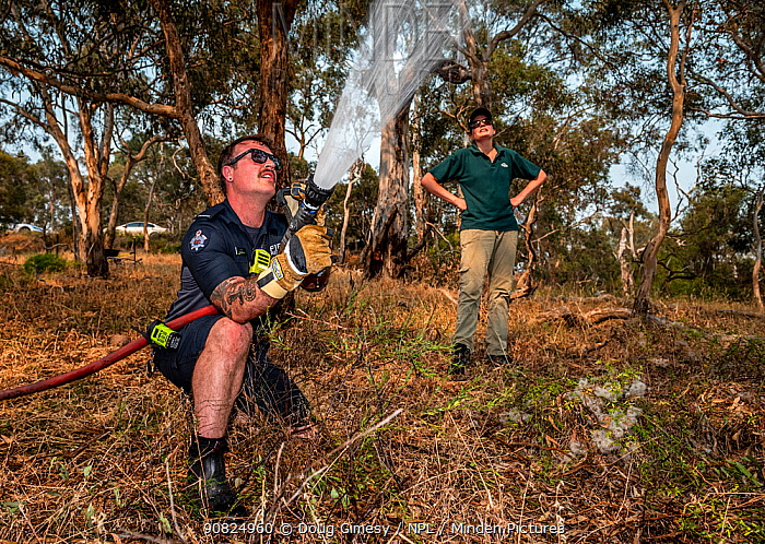 Firefighter from Melbourne's Metropolitan Fire Brigade (MBF) try and help cool down the Yarra Bend Grey-headed Flying-fox (Pteropus poliocephalus) colony by spraying water on them.  Park Ranger and Grey-headed Flying-fox Project Officer Stephen Brend estimated that during this day, over 4,500 Grey-headed Flying-foxes died at the Melbourne Yarra Bend colony as temperatures exceeded 43 C. 56% being infants and a significant part of the next generation. Yarra Bend Park, Kew, Victoria, Australia. ?December 2019. Editorial Use Only.