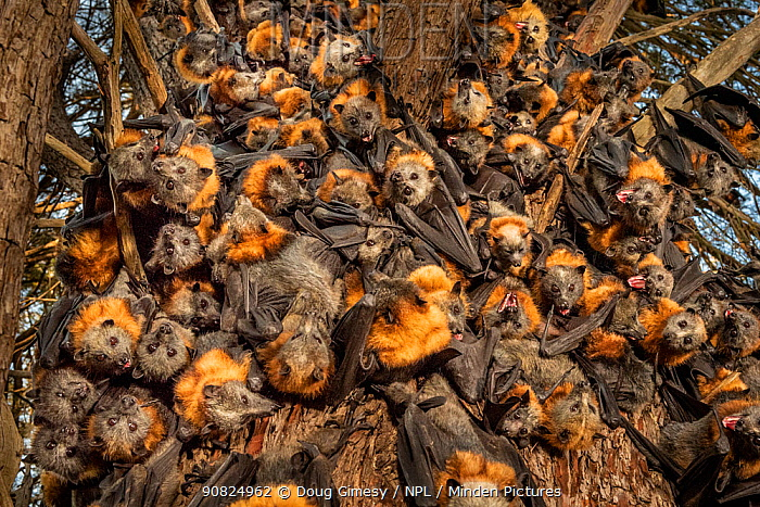 During an extreme heat-stress event at Melbourne's Yarra Bend Grey-headed Flying-fox (Pteropus poliocephalus) colony, where temperatures exceeded 43C, in a desperate search for somewhere cooler and less exposed, Grey-headed Flying-fox (Pteropus poliocephalus) descend from the safety of the tree canopy looking for a cooler place. Ironically and sadly, this behaviour results in what experts call clumping' - where the number of bats in close proximity means that the animals get even hotter. It is often a precursor to mass deaths. On the ground there were already many dead bats that had succumb to this heat-stress event. ? Park Ranger and Grey-headed Flying-fox Project Officer Stephen Brend estimated that during this day, over 4,500 Grey-headed Flying-foxes died at the Melbourne Yarra Bend colony as temperatures exceeded 43 C. 56% being infants and a significant part of the next generation. ?Yarra Bend Golf course, Fairfiele, Victoria, Australia.? December, 2019.
