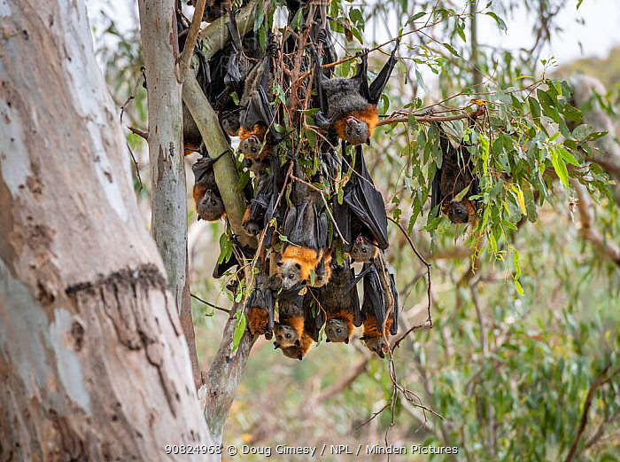 During an extreme heat-stress event at Melbourne's Yarra Bend Grey-headed Flying-fox (Pteropus poliocephalus) colony, where temperatures exceeded 40C, Grey-headed Flying-foxed (Pteropus poliocephalus) descend from the safety and start to clump' Yarra Bend Golf course, Fairfield, Victoria, Australia.? December 2019