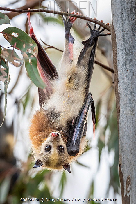 Portrait of a young pup Grey-headed Flying-fox (Pteropus poliocephalus) with piebaldism (a rare genetic condition, typically present at birth, in which an animal develops unpigmented) hangs from a tree. Yarra Bend Park. Kew, Victoria, Australia.? December.