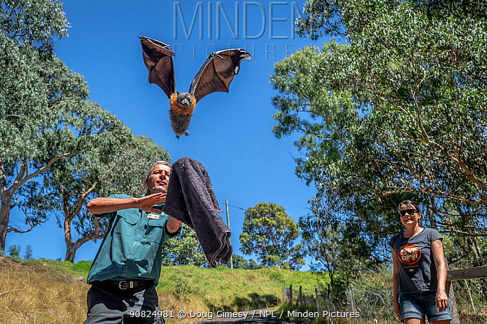 Parks Victoria ranger and Grey-headed Flying-fox Project Officer Stephen Brend, releasing a Grey-headed flying-fox (Pteropus poliocephalus) back to Yarra Bend Park, which was in care. Watched on by wildlife rescuer Louise Bonomi. Fairfield, Victoria, Australia. February 2019. Editorial use only.