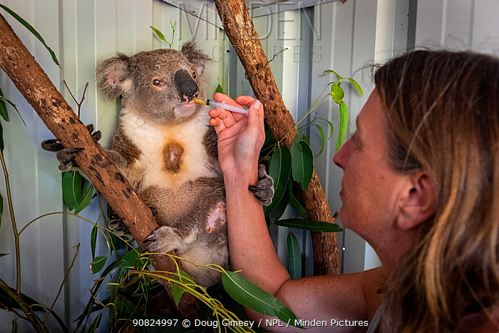 Senior wildlife carer for Port Stephens Koalas, Julie Jennings, feeds a bushfire victim koala (Phascolarctos cinereus) named Char', a supplementary feed. Char was caught in a bushfire at Hillville near Taree (NSW) in November, 2019. He had burnt toes which are healing, but then developed an eye problem. One Mile, NSW, Australia. December, 2019. Editorial use only.