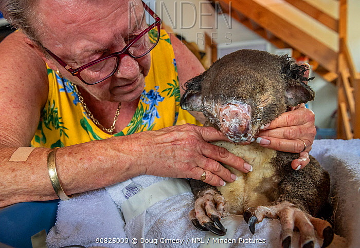 ?Sue Swain looks at the bush fire victim koala (Phascolarctos cinereus) named Sooty' who she has just applied burn cream to. 'Sooty' was very badly burnt during the Taree bushfires (NSW) in November 2019. His nose, hands, feet and chin were all affected - his hands were red and swollen with fluid - and his fur is all singed and charred. After three weeks his skin has started to heal very well, but he was having gut problems as a result of treatment with antibiotics for his burn wounds. He passed away a few hours after this photo was taken.Anna Bay, NSW, Australia. December 2019 Editorial use only.