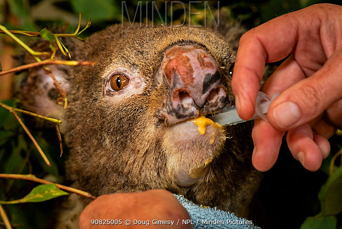 Julie Jennings, senior wildlife carer for Port Stephens Koalas, feeds bushfire burnt koala (Phascolarctos cinereus) named Flash', a supplementary feed, which is in addition to the eucalyptus leave Flash will be getting. Flash was caught in a bushfire at Hillville near Taree (NSW) in November, 2019. He arrived to care with a burnt nose, burnt hands and feet. One Mile, NSW, Australia. December 2019.? Cropped. Model released.
