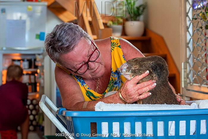 Sue Swain with rescued bush fire victim koala (Phascolarctos cinereus) named Sooty'. '??Sooty' was very badly burnt during the Taree bushfires (NSW) in November 2019. His nose, hands, feet and chin were all affected - his hands were red and swollen with fluid - and his fur is all singed and charred. ??After three weeks his skin has started to heal very well, but he was having gut problems as a result of treatment with antibiotics for his burn wounds. He passed away a few hours after this photo was taken. Anna Bay, NSW, Australia. December, 2019. Editorial use only'