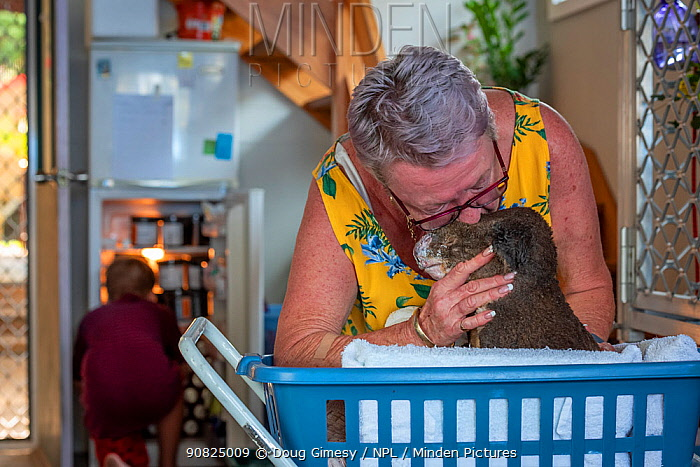 Sue Swain kissing rescued bush fire victim koala (Phascolarctos cinereus) named Sooty'. '??Sooty' was very badly burnt during the Taree bushfires (NSW) in November 2019. His nose, hands, feet and chin were all affected - his hands were red and swollen with fluid - and his fur is all singed and charred. ??After three weeks his skin has started to heal very well, but he was having gut problems as a result of treatment with antibiotics for his burn wounds. He passed away a few hours after this photo was taken. Anna Bay, NSW, Australia. December, 2019. Editorial use only'