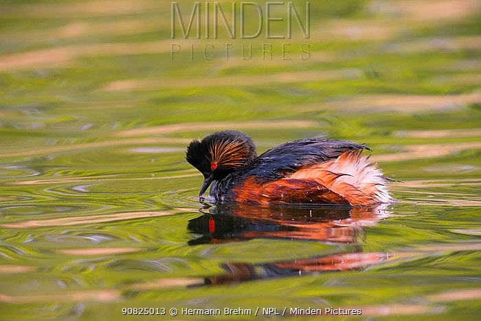 Black-necked grebe (Podiceps nigricollis) on water, Germany. May