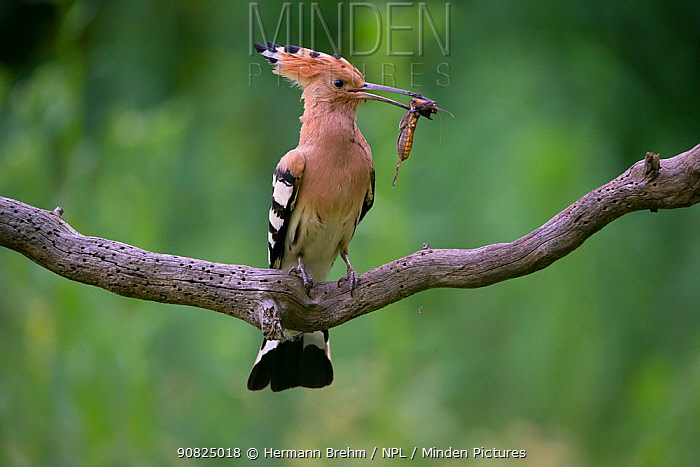 Hoopoe (Upupa epops) perched on branch with cricket prey, Hungary. June