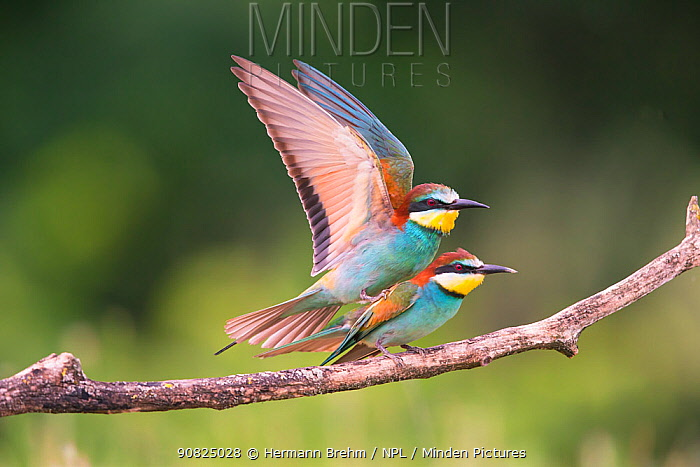 Bee-eater (Merops apiaster) pair mating, Hungary. June