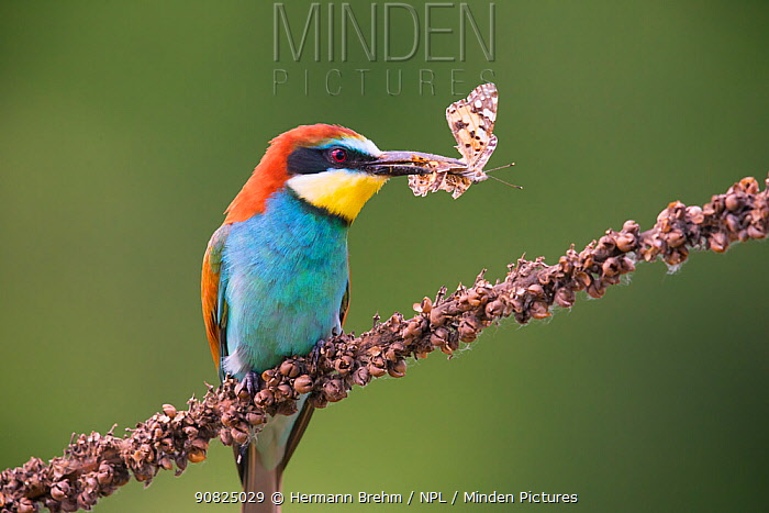 Bee-eater (Merops apiaster) with butterfly prey, Hungary. June