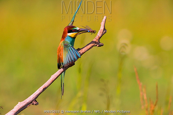 Bee-eater (Merops apiaster) with dragonfly prey, Hungary. June