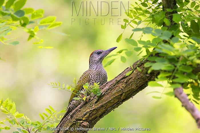 Green woodpecker (Picus viridis) juvenile, Hungary. June