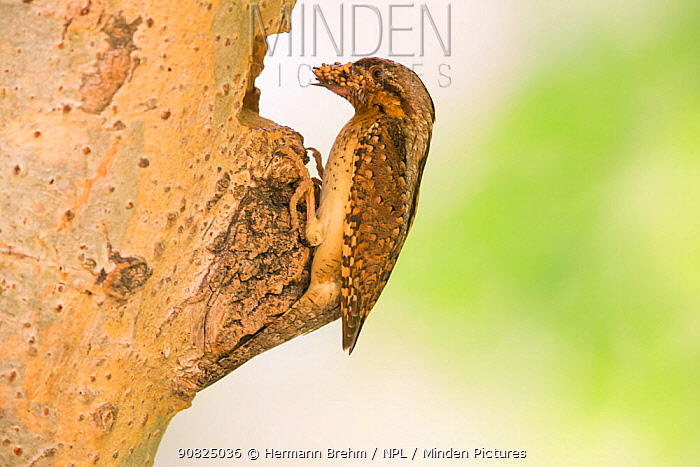 Wryneck (Jynx torquilla) carrying prey to nest hole in tree trunk, Hungary. February