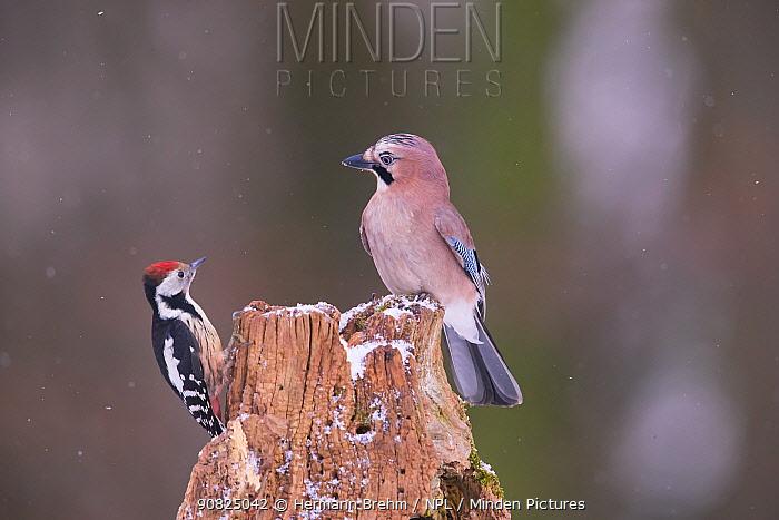 Middle spotted Woodpecker (Dendrocopus medius) and Jay (Garrulus glandarius), Germany. October