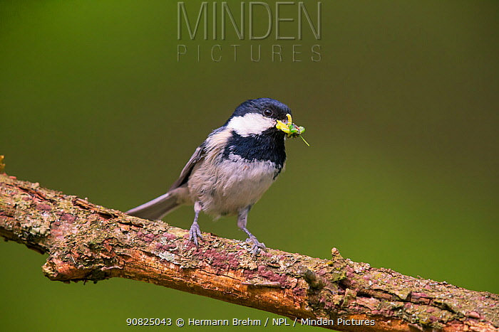 Coal Tit (Parus ater) with food for the chicks Germany. November
